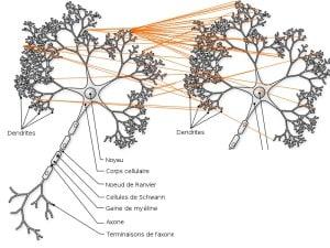 Comment avoir des idées avec ces techniques schéma des dendrites d'une personne qui utilise plus largement ses possibilités de connexions neurologiques et synaptiques en les associant pour avoir des idées différentes